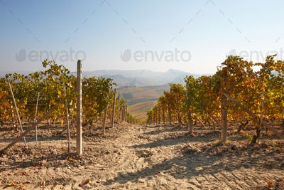 Vineyard path in autumn with yellow leaves in a sunny day in Italy