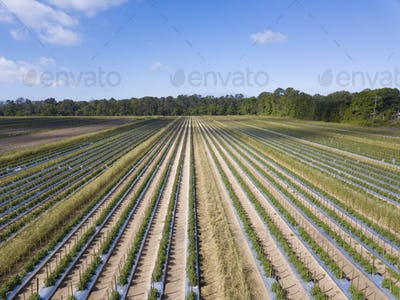 Aerial view of healthy, lush tomato field in South Carolina, USA