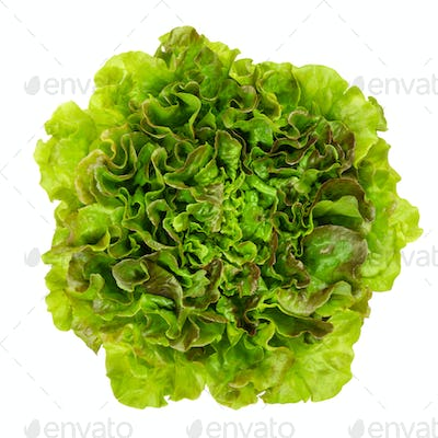 Young Batavia Red lettuce from above over white