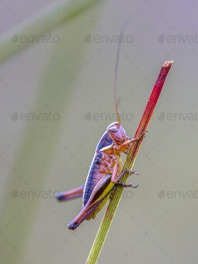 Juvenile Bog Bush Cricket