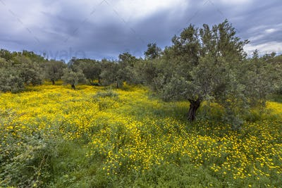 Ecological olive grove greece with yellow flowers