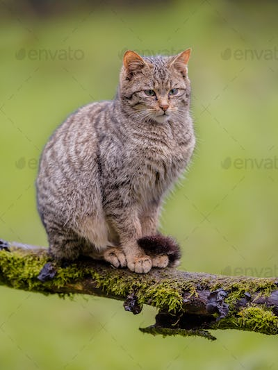 European wild cat sitting on a branch