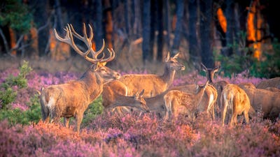Group of red deer in heathland