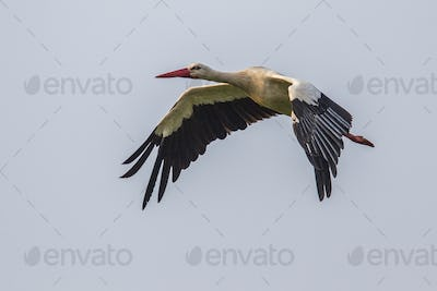 Flying Stork against cloudy background