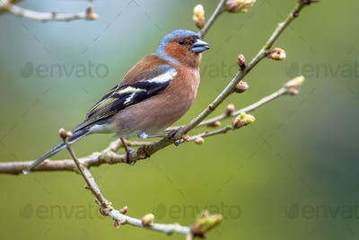 Chaffinch perched on spring branch