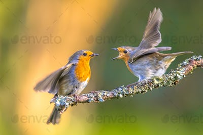 Parent Robin bird feeding young