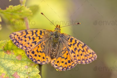 Cranberry Fritillary  warming wings in sun