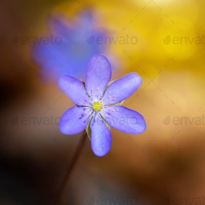 Spring flower close-up. Hepatica nobilis.