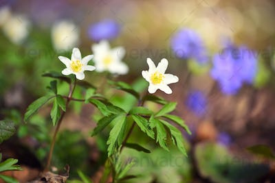 Anemone sylvestris. First spring flowers