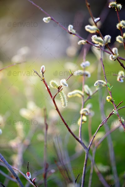 Flowering pussy willow branch on natural blurred background clos