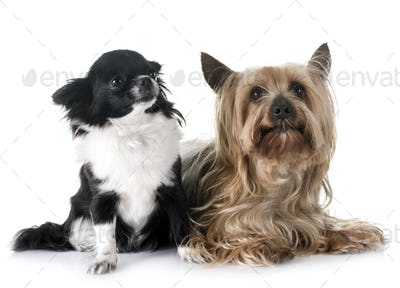young chihuahua and yorkshire terrier