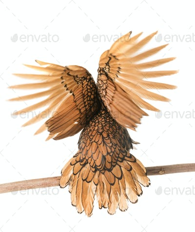 golden Sebright chicken