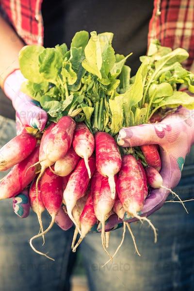 Close up on freshly picked radish,toned image