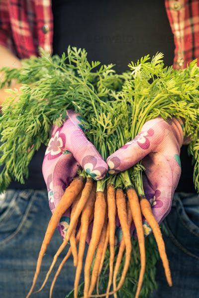 Close view on freshly picked imperfect carrots,real people