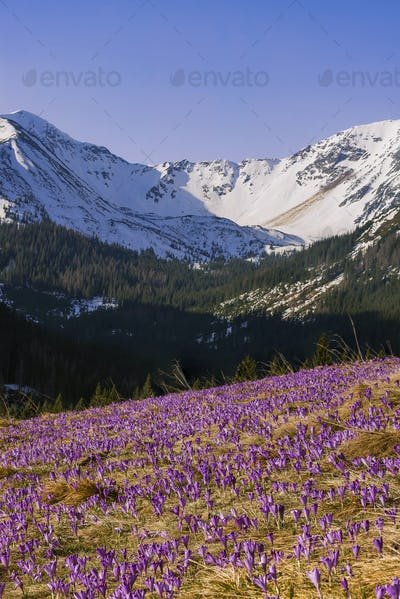 Purple wild crocis blooming in mountains