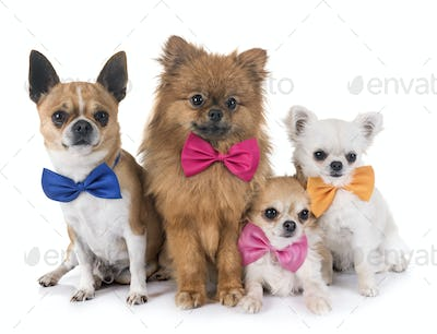 group of little dogs