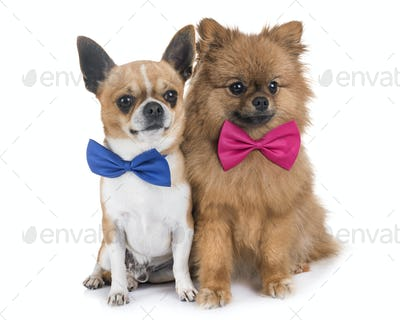 chihuahua and pomeranian