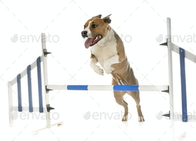 jumping american staffordshire terrier