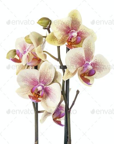moth orchids in studio