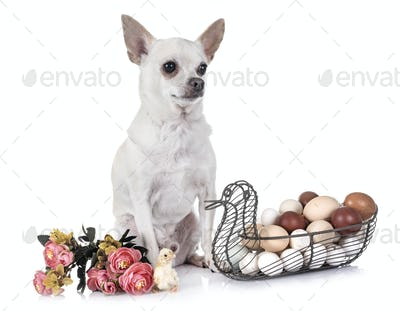 chihuahua , chick and eggs