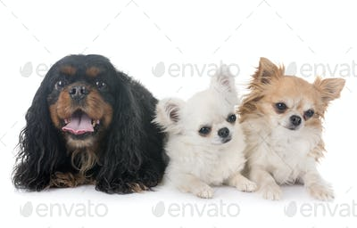 cavalier king charles and chihuahuas