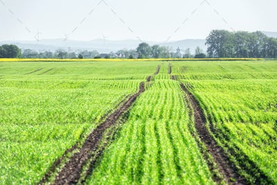 Young wheat field on spring time