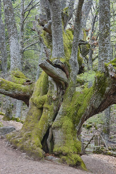 Centuries old chestnut tree on Ambroz valley. Amazing nature. Spain