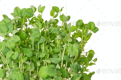 Snow pea microgreen on white background