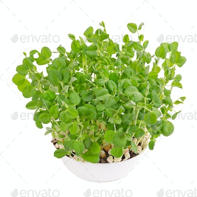 Snow pea microgreen in white bowl from above