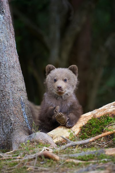 Wild brown bear cub closeup