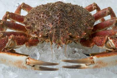 Single fresh raw spider crab on ice