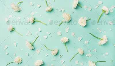 Flat-lay of white ranunculus flowers over blue background, wide composition
