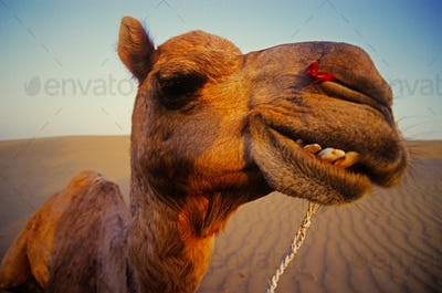 Happy camel in the desert, Rajasthan