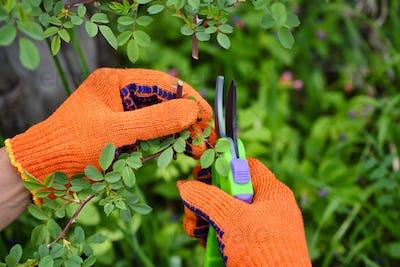 Spring pruning roses in the garden, gardener's hands with secate