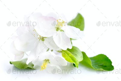 Apple blossom on a white background
