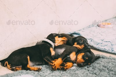 Three Small Black Miniature Pinscher Zwergpinscher, Min Pin Pupp