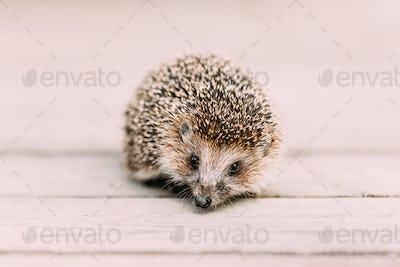 Small Funny Hedgehog Standing On Wooden Floor. European Hedgehog