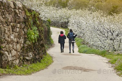Cherry blossom pathway in Jerte Valley, Caceres. Spring in Spain
