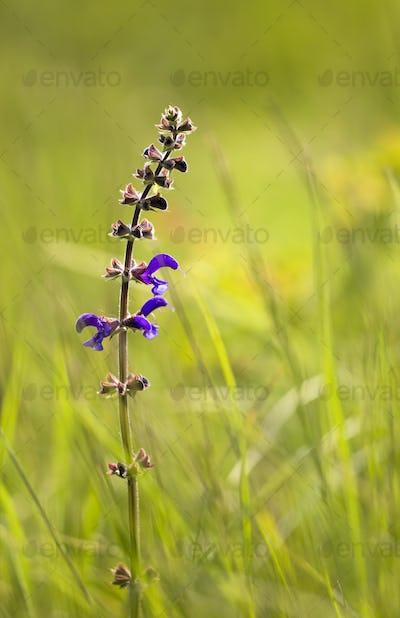Blooming salvia herbal