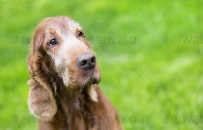 Beautiful old dog portrait