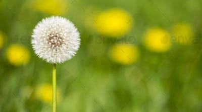 Summertime - dandelion flower head