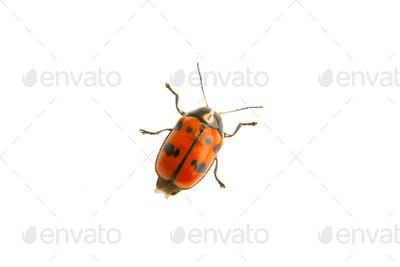 Beetle Cryptocephalus octopunctatus on a white background