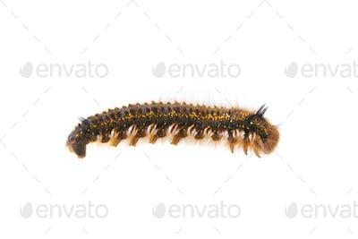 Caterpillar of Euthrix potatoria on a white background