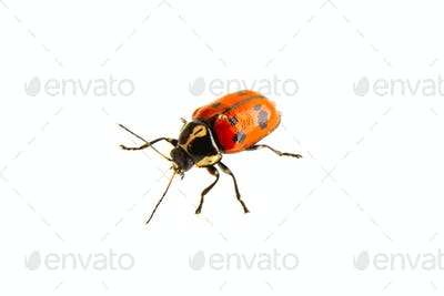 Beetle Cryptocephalus octopunctatus on a white background