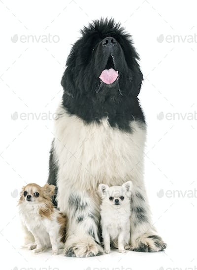 newfoundland dog and chihuahuas