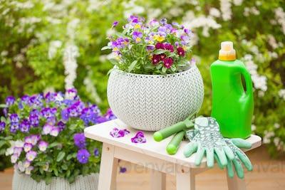 beautiful pansy summer flowers in garden, fertilizer, gloves, to