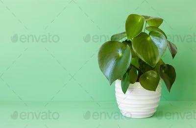 houseplant peperomia in white pot