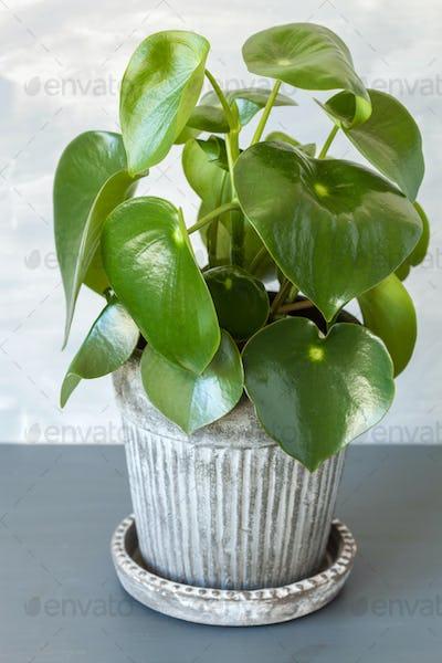 houseplant peperomia in vintage pot