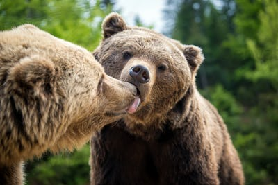 Brown bears in forest, giving a kiss