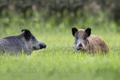 Wild boars in a clearing